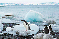 Adelie penguins coming ashore, Antarctica. Wildlife and nature photography wall art. Fine art photography prints, stock images. | Nicki Geigert