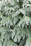 Winter scene hoar frost on fir tree in The Cotswolds, UK
