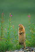 An Arctic Ground Squirrel stands up to get a view among fireweed on the Alaskan tundra.