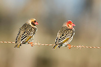 Red-billed Quelias males with differing facial patterns perching on a farm fence, Overberg, Western Cape, South Africa