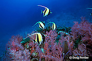 moorish idols, Zanclus cornutus, and soft corals, Surin Islands, Thailand ( Andaman Sea, Indian Ocean )