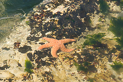 California, San Luis Obispo County: Montana de Oro state park offers scenic coastal views and tide pool exploring.   Starfish in tide pool..Photo caluis188-70924..Photo copyright Lee Foster, www.fostertravel.com, 510-549-2202, lee@fostertravel.com