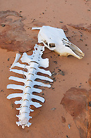 Bleached bones of cattle, Vermilion Cliffs National Monument Utah