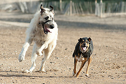 Berti (left) is an 18 month old Irish Wolf Hound Wallace (right)  is an almost 3 year old mongrel despite the size difference the two did get on very well..12th September2011 Image © Paul David Drabble