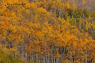 Colorful autumn aspen grove near Aspen, Colorado, USA