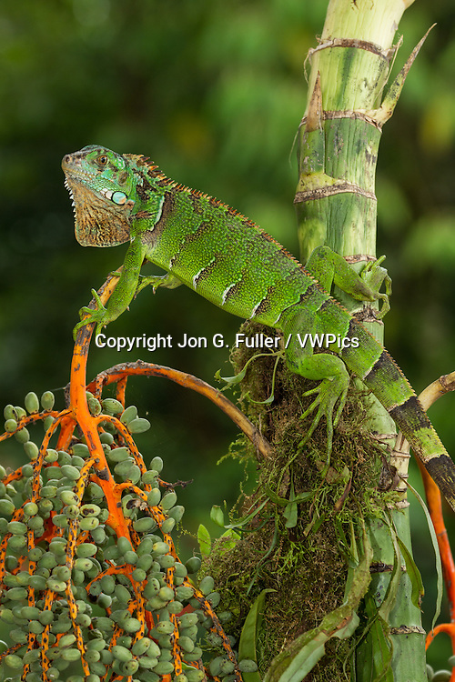 A juvenile Green Iguana,  Iguana iguana, in a small palm tree in Costa Rica.  Iguanas are primarily arboreal and live in trees.