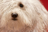 Cute Komondor dog close-up