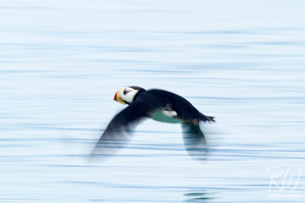 Horned Puffin Skimming Above Water, Alaska Maritime National Wildlife Refuge near Lake Clark National Park, Alaska