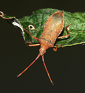 Box Bug - Gonocerus acuteangulatus