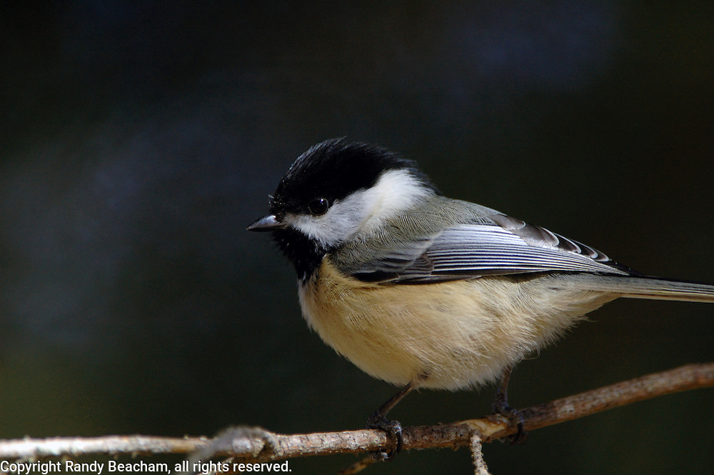 Black-capped chickadee. Yaak Valley in the Purcell Mountains, northwest Montana