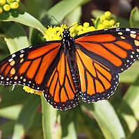 A Monarch Butterfly, Danaus plexippus, with wings spread feeding on Seaside Goldenrod, Solidago sempervirens. Lavalette, New Jersey, USA. During the fall migration to Mexico, many Monarchs hug the eastern seaboard, the Atlantic Flyway, feeding on the Goldenrod plant.