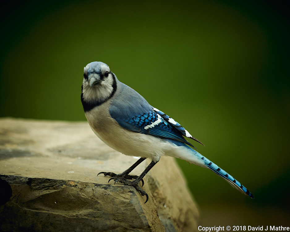 Blue Jay. Image taken with a Nikon D4 camera and 600 mm f/4 VR lens (ISO 280, 600 mm, f/4, 1/200 sec).