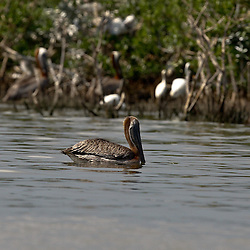 A Brown Pelican is seen in the water near the banks of Cat Island off the coast of Louisiana on Thursday, June 17 2010. Oil from the Deepwater Horizon spill continues to impact areas across the coast of gulf states.