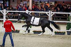 076, Pegasus vd Guldennagel<br /> Hengstenkeuring BWP - Lier 2018<br /> © Hippo Foto - Dirk Caremans<br /> 20/01/2018
