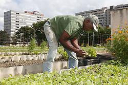 Man working at Organiponico La Sazon urban farm; Havana; Cuba,