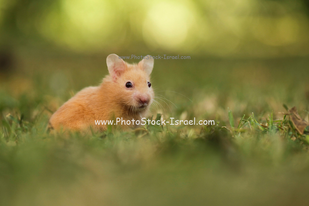 golden hamster or Syrian hamster, (Mesocricetus auratus) on the lawn