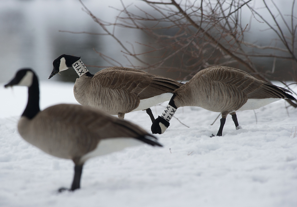 banded geese feeding in a fresh snow covered field.