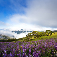 Redwood National Park holds some hidden secrets. For Memorial Day I spend the weekend shooting with Bjorn up in the redwood national park. This was my first time exploring this area even though I grew up in Nor Cal. I'll definitely be back! One of the foggy mornings we found this amazing patch of lupine covering the grassy hills. It was complexly foggy for sunrise and then it lifted revealing this amazing landscape.