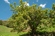 Apple tree with ripe apples on the roadside