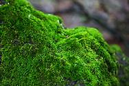 Moss on a tree below the summit of Snjeznik, Risnjak National Park, Gorski Kotar, Croatia.