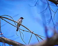Eastern Phoebe in a tree. Image taken with a Nikon D850 camera and 105 mm f/1.4 lens (ISO 64, 105 mm, f/1.4, 1/4000 sec).