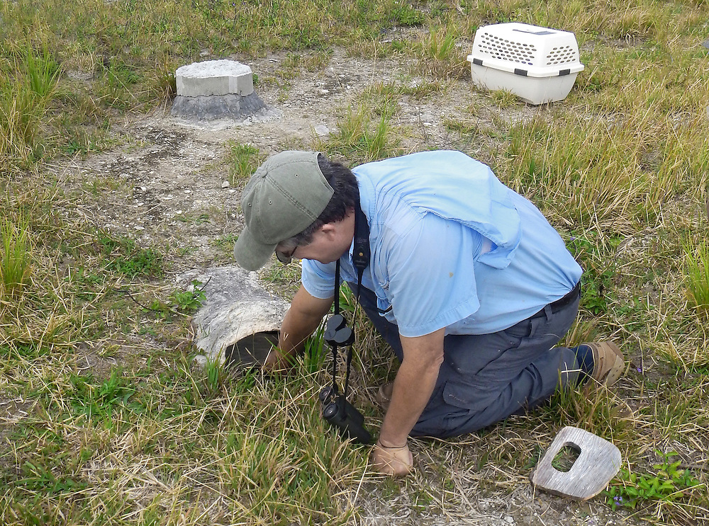 Bermuda Petrel - Pterodroma cahow - artificial nest burrow and chamber being examined by Jeremy Madeiros, warden of Nonsuch Island, with wooden 'baffle' to exclude White-tailed Tropicbirds from burrows