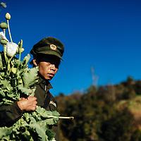 HSSU 20150409 TNLA kapinallisryhmä Shanin osavaltiossa, Myanmar. TNLA sotilas ja lähes valmiita unikon kukintoja. Kuva: Benjamin Suomela