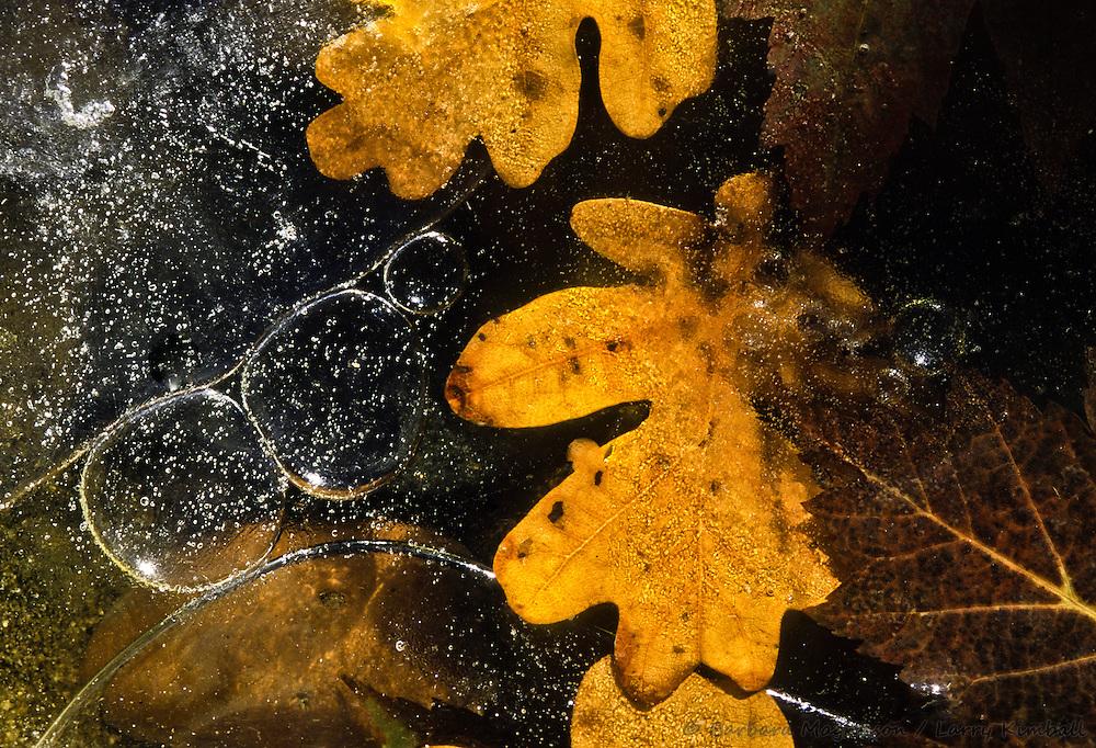 Autumn Maple  & Oak Leaves frozen on ice, d.etail; Colorado