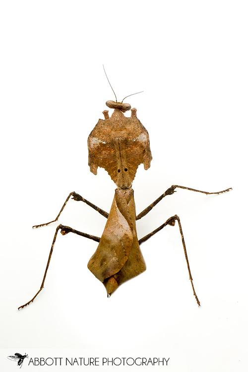 Dead Leaf Mantis (Deroplatys desiccata)<br /> captive individual