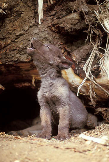 Gray Wolf, (Canis lupus) Pups howls outside den. Captive Animal.