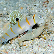Sail-fin shrimpgoby, Amblyeleotris randalli, at Lembeh Straits, Indonesia.