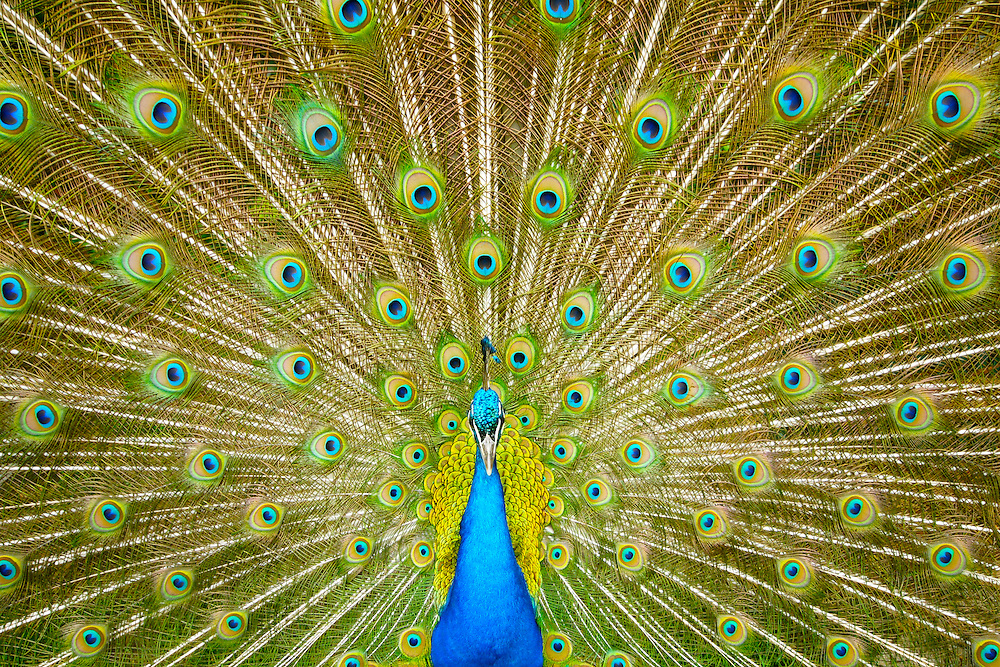 Peacock Feathers, Strutting, Grounds of Sculpture, Trenton, NJ
