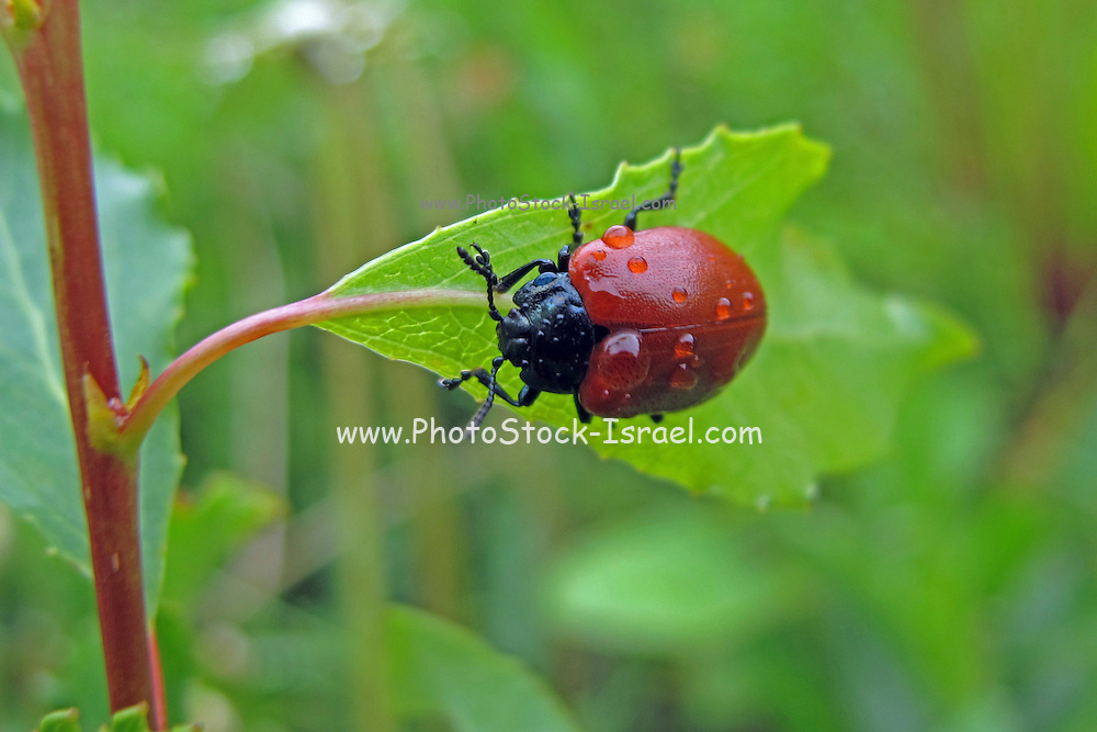 Red Ladybird with dew drops on a green leaf