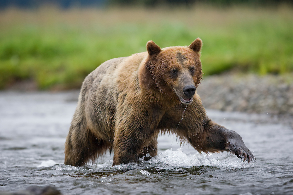 USA, Alaska, Tongass National Forest, Windfall Harbor, Brown (Grizzly) Bear (Ursus arctos) fishing for spawning salmon in Windfall Creek on summer morning