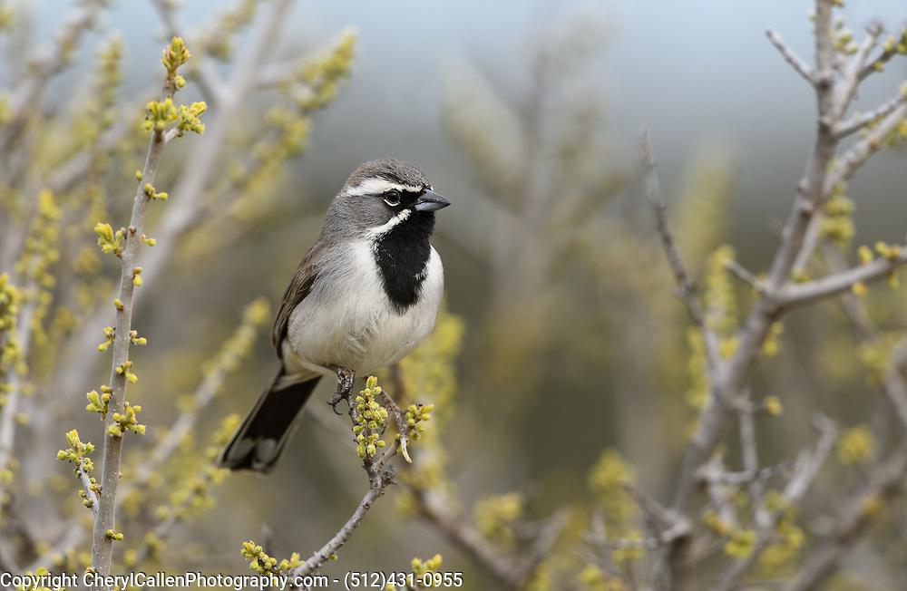 Black-Throated Sparrow in springtime leaf blooms