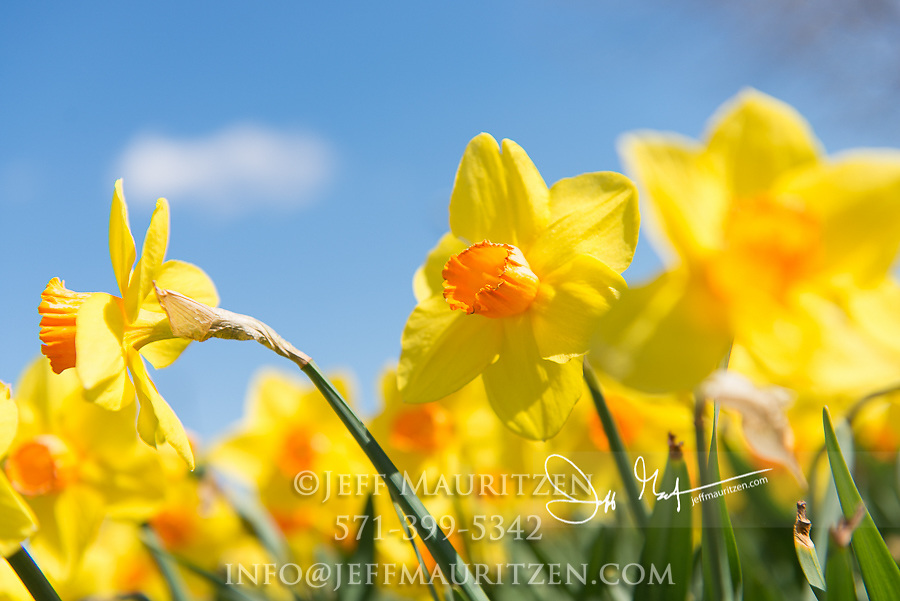 A Daffodil, Narcissus against a blue sky.