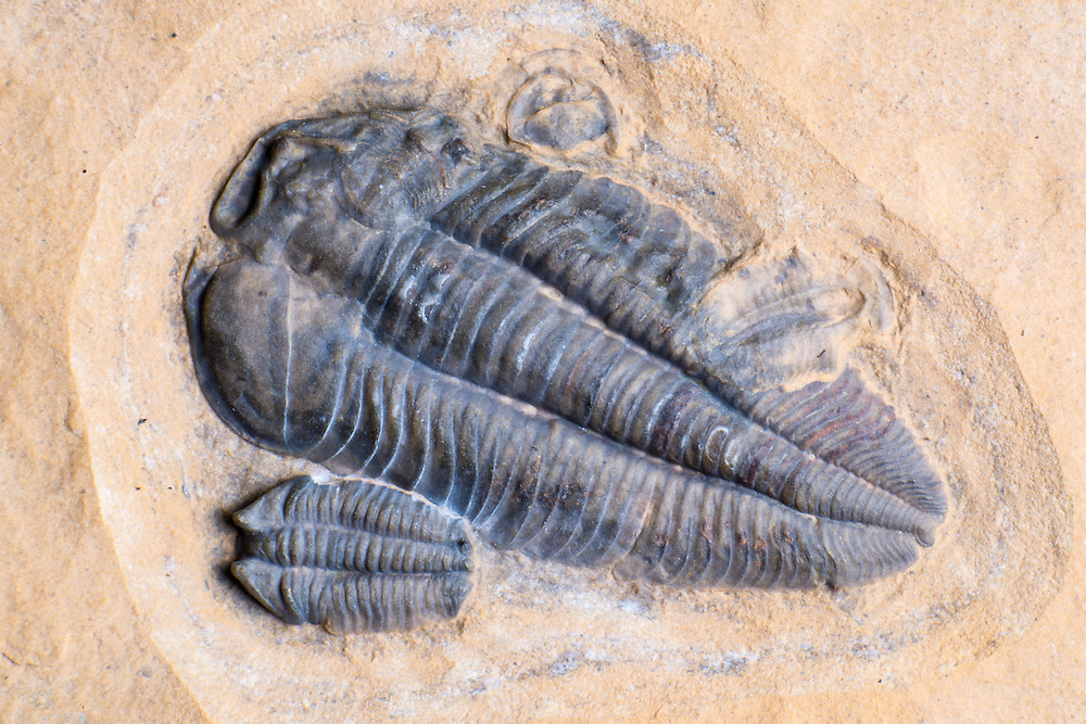 Dresbachia amata (sagittal length: 29mm) is a rare Middle Cambrian ptychopariid trilobite collected from the Weeks Formation in the House Range, Millard County, Utah. It is overlapped by one complete and three partial Menomonia semele.