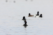 Great Scaup (bluebills) swimming