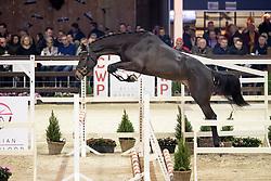 102, Dom Perignon Z<br /> Hengstenkeuring BWP - Lier 2019<br /> © Hippo Foto - Dirk Caremans<br /> 18/01/2019