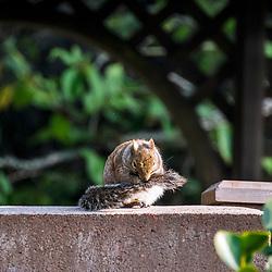 """""""Esquilo-cinzento (Sciurus griseus) fotografado em São Fransisco, nos Estados Unidos da América - EUA. Registro feito em 2018. <br /> ⠀<br /> ⠀<br /> <br /> <br /> <br /> <br /> ENGLISH: Western gray squirrel photographed in San Fancisco, in United States of América - USA. Picture made in 2018."""""""