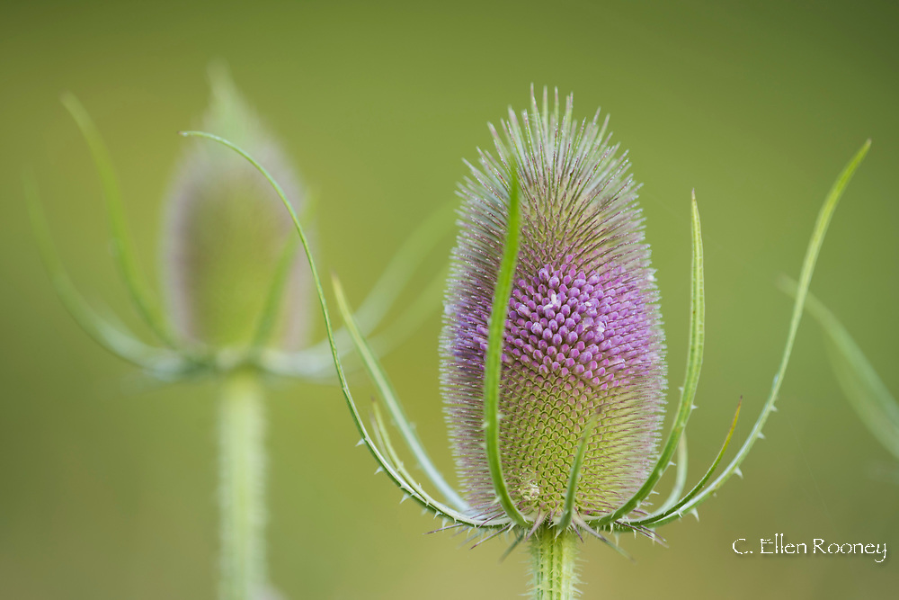 Close-up of a Teasel (Dipsacus fullonum) a purple egg shaped wild flower in Alexandra Van Horne's garden in Hauverville, New York State, U.S.A.