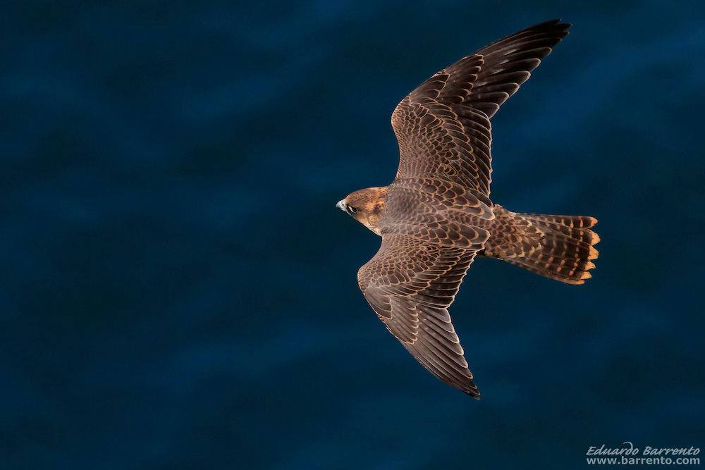 Peregrine falcon (Falco peregrinus). Juvenile bird of prey flying over the blue sea, and seen from above