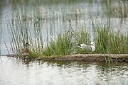 Mew Gull on Nest and American Wigeon female