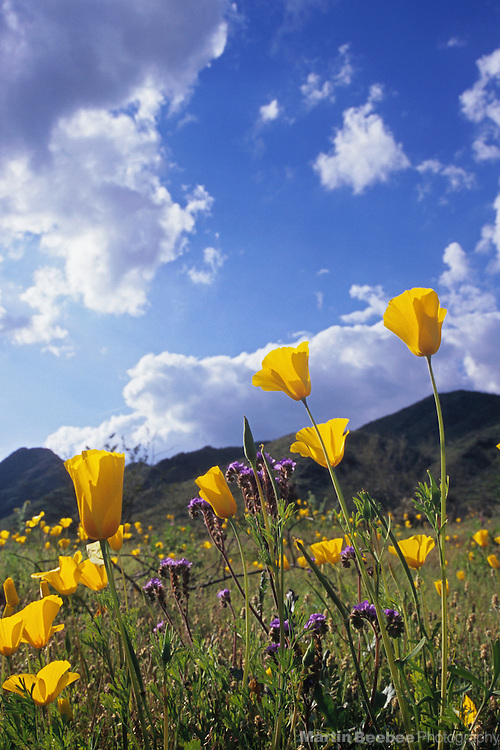 Mexican gold poppies (Eschscholzia californica) and clouds, South Mountain Park, Arizona
