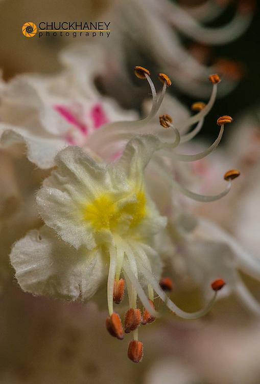Horse chestnut aka buckeye tree flowering in spring in Whitefish, Montana, USA