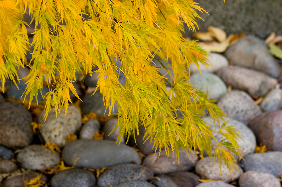 Japanese maple leave turning yellow in autumn hanging over a bed of river rocks