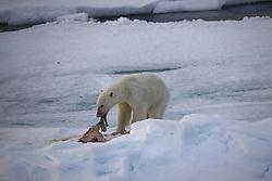 LABRADOR SEA 5JUN11 – A polar bear feasts on a seal in the ice of the Labador Sea off the Canadian coast...Photo by Jiri Rezac / Greenpeace