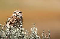 A Burrowing Owl sits atop a sage brush plant next to its burrow watching for insects to feed on.