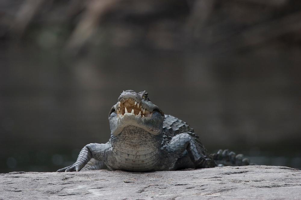 Mato Grosso, Brazil. October 2nd 2007.  Cristalino State Park. Spectacled Caiman (Caiman crocodilus)Brazilian: Jacare de Papo Amarello.