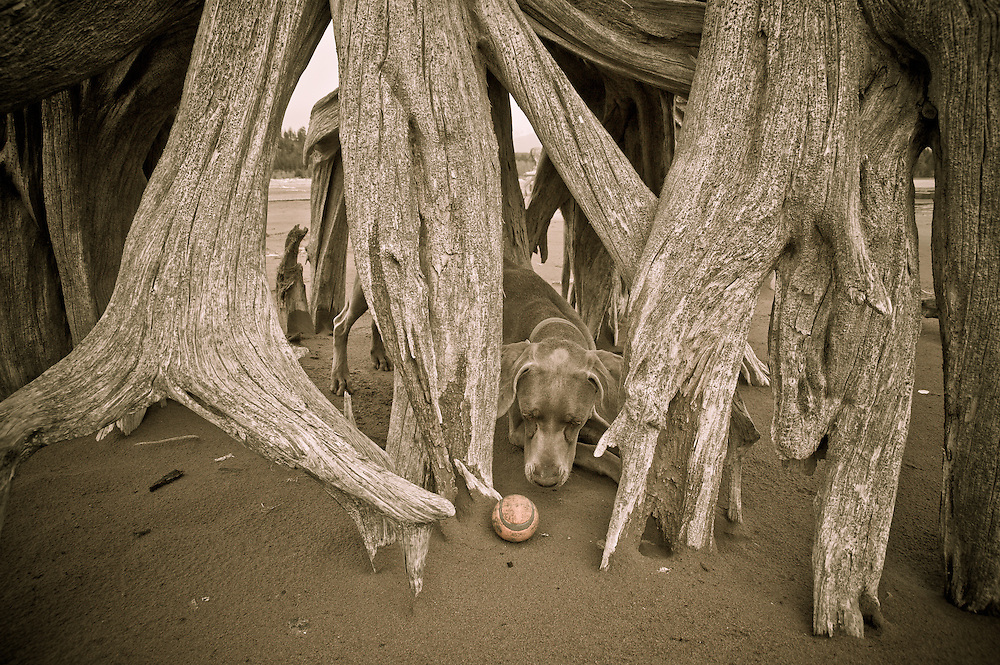 Sugar under roots of old tree on beach with her ball